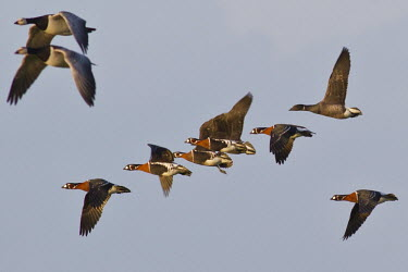 Group of red-breasted geese in flight group,flying,flight,Chordata,Asia,Tundra,Appendix II,Herbivorous,Vulnerable,Aves,Europe,Anseriformes,Animalia,Agricultural,Flying,Branta,Anatidae,ruficollis,Terrestrial,IUCN Red List,Endangered