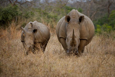White rhino rhinoceros,grazing,mother and baby,baby,square-lipped rhino,Rhinocerous,Rhinocerotidae,Perissodactyla,Odd-toed Ungulates,Mammalia,Mammals,Chordates,Chordata,Appendix II,Scrub,simum,Terrestrial,Savanna