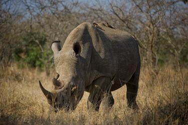 White rhino rhinoceros,grazing,square-lipped rhino,being groomed,symbiotic,Rhinocerous,Rhinocerotidae,Perissodactyla,Odd-toed Ungulates,Mammalia,Mammals,Chordates,Chordata,Appendix II,Scrub,simum,Terrestrial,Sava