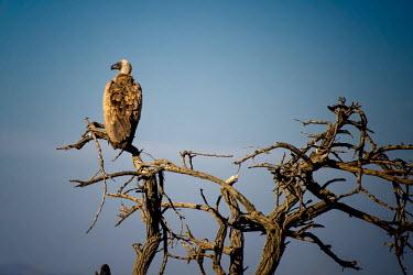 Vulture perching,birds