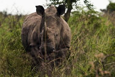 White rhino rhinoceros,square-lipped rhino,Rhinocerous,Rhinocerotidae,Perissodactyla,Odd-toed Ungulates,Mammalia,Mammals,Chordates,Chordata,Appendix II,Scrub,simum,Terrestrial,Savannah,Near Threatened,Africa,Crit