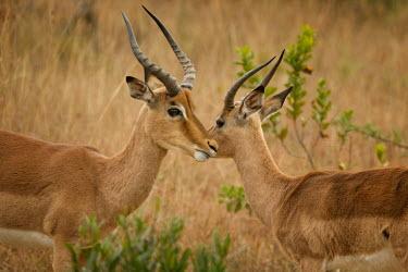 Impala antelopes,Bovidae,ungulate,prey,Chordates,Chordata,Even-toed Ungulates,Artiodactyla,Bison, Cattle, Sheep, Goats, Antelopes,Mammalia,Mammals,Aepyceros,Animalia,Africa,Terrestrial,Vulnerable,Savannah,Ce