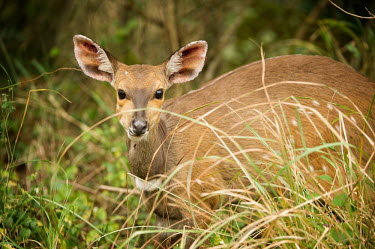 Bushbuck antelopes,Bovidae,ungulate,prey,Even-toed Ungulates,Artiodactyla,Chordates,Chordata,Bison, Cattle, Sheep, Goats, Antelopes,Mammalia,Mammals,Cetartiodactyla,Least Concern,Herbivorous,Africa,Savannah,Tr