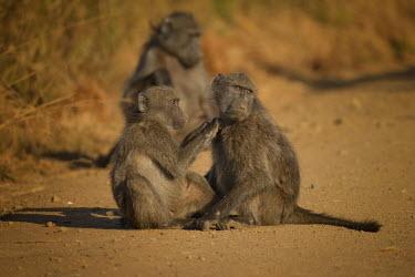 Baboon monkeys,old world monkeys,grooming,allogrooming