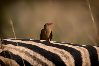 Red-billed oxpecker Birds,perching,grooming,zebra