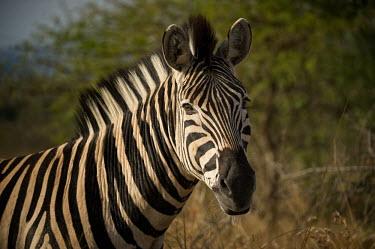 Zebra zebra,close-up,eye,face,stripes,stripey,striped