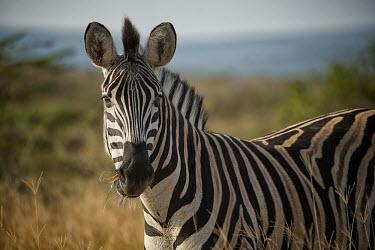 Zebra zebra,close-up,eye,face,stripes,stripey,striped,eating,feeding,chewing