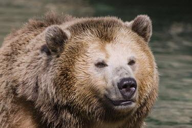 Grizzly bear bear,captive,close-up,face,zoo,San Francisco Zoo,Captive,Carnivores,Carnivora,Bears,Ursidae,Chordates,Chordata,Mammalia,Mammals,Africa,Semi-desert,Europe,Broadleaved,North America,Tundra,Ursus,Appendi