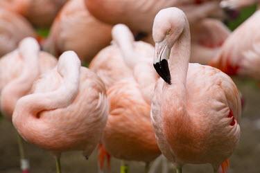 Chilean flamingo birds,pink,captive,flamingos,zoo,San Francisco Zoo,Captive,Phoenicopteridae,South America,Near Threatened,Animalia,Phoenicopterus,Estuary,Wetlands,Aquatic,Aves,Chordata,chilensis,Phoenicopteriformes,I