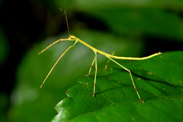 Insect stick insect,insects,camouflage,macro,close-up