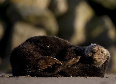 Californian sea otter Otters,weasels,Lutrinae,resting,marine mammals,Mammalia,Mammals,Carnivores,Carnivora,Chordates,Chordata,Weasels, Badgers and Otters,Mustelidae,Vulnerable,Animalia,Pacific,lutris,Aquatic,Enhydra,North