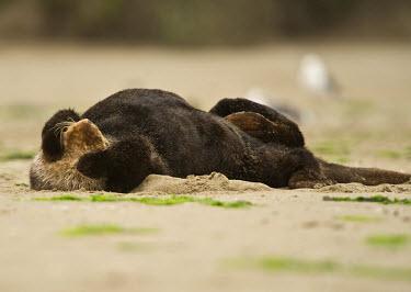 Californian sea otter Otters,weasels,Lutrinae,resting,cute,covering eyes,marine mammals,Mammalia,Mammals,Carnivores,Carnivora,Chordates,Chordata,Weasels, Badgers and Otters,Mustelidae,Vulnerable,Animalia,Pacific,lutris,Aqu