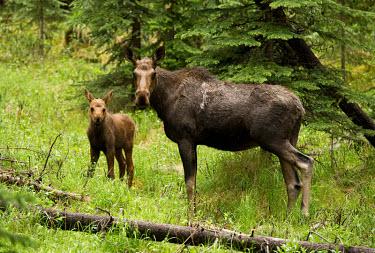 Moose Deer,wild deer,elk,baby animals,Cervidae,Mammalia,Mammals,Chordates,Chordata,Even-toed Ungulates,Artiodactyla,Tundra,Wetlands,Agricultural,Europe,Animalia,Least Concern,Alces,Asia,Cetartiodactyla,Herb