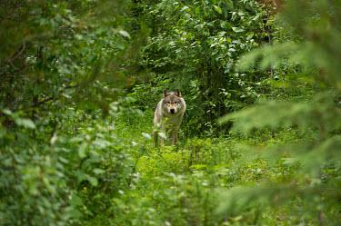 Grey wolf timber wolf,true wolf,wild dogs,Canidae,Dog, Coyote, Wolf, Fox,Chordates,Chordata,Mammalia,Mammals,Carnivores,Carnivora,Rock,Desert,Wetlands,Broadleaved,Animalia,Coniferous,Tundra,lupus,Least Concern,