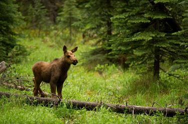 Moose Deer,wild deer,elk,baby animals,cute,Cervidae,Mammalia,Mammals,Chordates,Chordata,Even-toed Ungulates,Artiodactyla,Tundra,Wetlands,Agricultural,Europe,Animalia,Least Concern,Alces,Asia,Cetartiodactyla