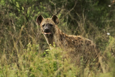 Spotted hyaena Hyena,wild dogs,Canidae,canids,Chordates,Chordata,Hyaenidae,Hyenas, Aardwolves,Carnivores,Carnivora,Mammalia,Mammals,Savannah,crocuta,Carnivorous,Least Concern,Africa,Tropical,Desert,Sub-tropical,Croc