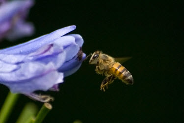 Bee pollination,pollinator,in flight,flying,insect