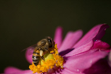 Bee pollination,pollinator,insect
