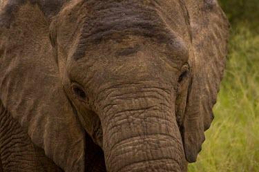 Elephant Close-up,eye,eyelashes,face,Elephants,Elephantidae,Chordates,Chordata,Elephants, Mammoths, Mastodons,Proboscidea,Mammalia,Mammals,Appendix I,Africa,Appendix II,Savannah,Herbivorous,Terrestrial,Animali