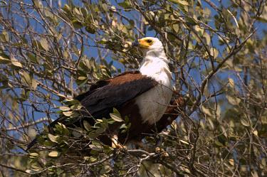 Fish eagle bird of prey,perching,eagles,Chordates,Chordata,Aves,Birds,Accipitridae,Hawks, Eagles, Kites, Harriers,Ciconiiformes,Herons Ibises Storks and Vultures,Falconiformes,Fresh water,Haliaeetus,Animalia,Fly
