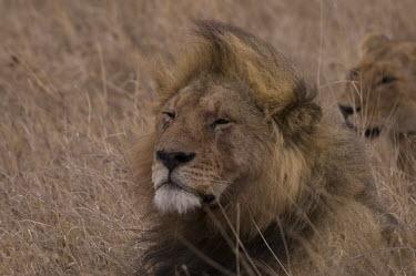 Lion male lion,mane,sleepy,big cats,Felidae,Cats,Mammalia,Mammals,Carnivores,Carnivora,Chordates,Chordata,leo,Animalia,Savannah,Africa,Scrub,Appendix II,Asia,Panthera,Vulnerable,Desert,Terrestrial,Carnivor