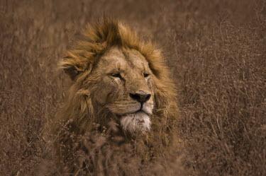 Lion male lion,close-up,portrait,mane,big cats,Felidae,Cats,Mammalia,Mammals,Carnivores,Carnivora,Chordates,Chordata,leo,Animalia,Savannah,Africa,Scrub,Appendix II,Asia,Panthera,Vulnerable,Desert,Terrestri