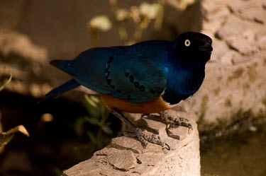 superb starling starlings,birds,colourful,Sturnidae