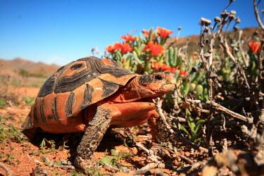 Angulate Tortoise in Goegap Nature Reserve Reptil,reptile,tortoise,chelonia,south africa,summer,desert,rocky,arid,chersina angulata,succulent,namaqualand,namakwaland.,Wild,Terrestrial,Animalia,Testudines,Reptilia,Appendix II,Semi-desert,Testud