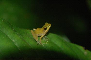 Tree frog frogs,amphibians