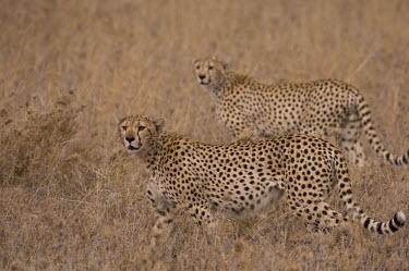 Cheetah Felidae,felids,big cats,alert,Chordates,Chordata,Carnivores,Carnivora,Mammalia,Mammals,Cats,jubatus,Savannah,Appendix I,Africa,Acinonyx,Critically Endangered,Carnivorous,Terrestrial,Animalia,Endangere