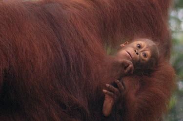Orang-Utan baby,babies,primates,orange,cute,Mammalia,Mammals,Chordates,Chordata,Primates,Hominids,Hominidae,Animalia,Arboreal,Endangered,pygmaeus,Herbivorous,Appendix I,Pongo,Asia,Rainforest,IUCN Red List