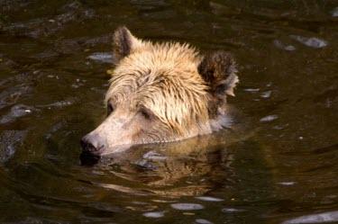 Grizzly bear water,foraging,swimming,in water,Carnivores,Carnivora,Bears,Ursidae,Chordates,Chordata,Mammalia,Mammals,Africa,Semi-desert,Europe,Broadleaved,North America,Tundra,Ursus,Appendix II,arctos,Asia,Snow an