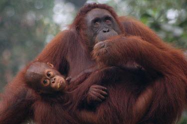 Orang-Utan mother,baby,babies,primates,orange,cute,Mammalia,Mammals,Chordates,Chordata,Primates,Hominids,Hominidae,Animalia,Arboreal,Endangered,pygmaeus,Herbivorous,Appendix I,Pongo,Asia,Rainforest,IUCN Red List
