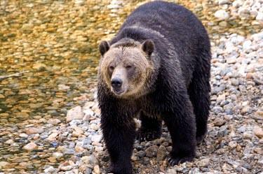 Grizzly bear water,foraging,front view,Carnivores,Carnivora,Bears,Ursidae,Chordates,Chordata,Mammalia,Mammals,Africa,Semi-desert,Europe,Broadleaved,North America,Tundra,Ursus,Appendix II,arctos,Asia,Snow and ice,A