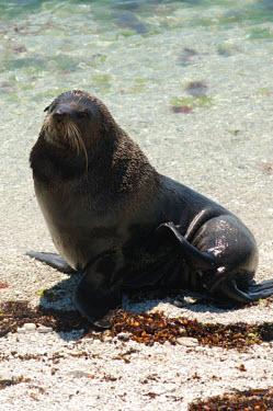 New Zealand fur seal fur seals,close-up,Otariidae,Eared Seals,Chordates,Chordata,Mammalia,Mammals,Carnivores,Carnivora,Terrestrial,Arctocephalus,Animalia,Least Concern,Australia,Coral reef,Ocean,Aquatic,Carnivorous,Pacifi