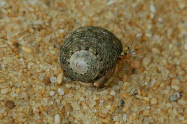 Hermit crab crabs,crustaceans,Paguroidea,Crustacea,Animalia,Arthropoda,Coastal,Omnivorous,Europe,Shore,Aquatic,Terrestrial,Pagurus,Common,Paguridae,Decapoda