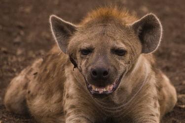 Spotted hyaena wild dogs,portrait,teeth,face,Chordates,Chordata,Hyaenidae,Hyenas, Aardwolves,Carnivores,Carnivora,Mammalia,Mammals,Savannah,crocuta,Carnivorous,Least Concern,Africa,Tropical,Desert,Sub-tropical,Crocu