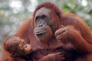 Orang-Utan mother,baby,babies,primates,orange,happy,smile,cute,Mammalia,Mammals,Chordates,Chordata,Primates,Hominids,Hominidae,Animalia,Arboreal,Endangered,pygmaeus,Herbivorous,Appendix I,Pongo,Asia,Rainforest,I