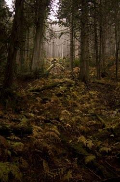 Old growth forest Old growth forest,undergrowth,ferns,trees,woodland,forest