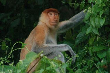 Proboscis monkey primates,strange,proboscis,ugly,Mammalia,Mammals,Old World Monkeys,Cercopithecidae,Primates,Chordates,Chordata,Animalia,larvatus,Nasalis,Asia,Endangered,Appendix I,Rainforest,Herbivorous,Terrestrial,I