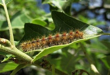 Gypsey moth (Lymantria dispar) caterpillar Gypsey moth,Lymantria dispar,moths,caterpillar