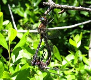 Uhler's Sundragons (Helocordulia uhleri) mating Dragonfly,mating,reproduction,wheel formation,wheel position,Odonata