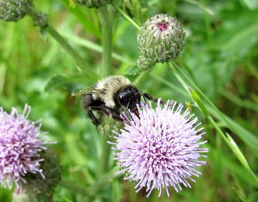 Common Eastern Bumble Bee (Bombus impatiens) pollinating Cursed Thistle (Cirsium arvense) Bees,pollinator,pollination,bumble bee,common eastern bumble bee,Bombus impatiens,flowers