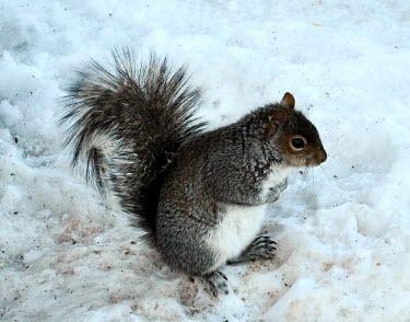 Eastern gray squirrel (Sciurus carolinensis) Gray squirrel,grey squirrel,Sciurus carolinensis,snow,Rodents,Rodentia,Squirrels, Chipmunks, Marmots, Prairie Dogs,Sciuridae,Chordates,Chordata,Mammalia,Mammals,Temperate,Terrestrial,Omnivorous,Sciuru