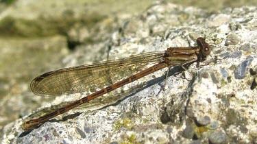 Variable Dancer (Argia fumipennis) Variable dancer,Argia fumipennis,damselfly,Odonata