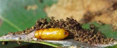 Leafroller moth pupa Leafroller moth,moth larvae,development