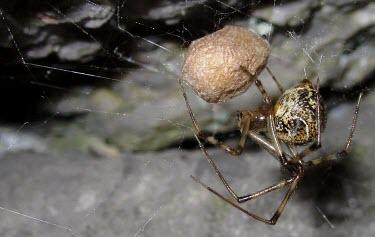 Common House Spider (Parasteatoda tepidariorum) Common house spider,Parasteatoda tepidariorum,Aranidae,spiders