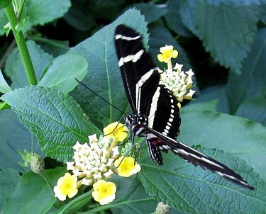 Zebra Longwing (Heliconius charithonia) Zebra Longwing,Heliconius charithonia,butterfly,Nymphalidae