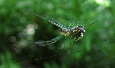 Orchard Orbweaver (Leucauge venusta) Orchard orbweaver,spider,Arachnidae,web