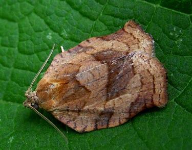 Oblique-banded Leafroller Moth? (cf. Choristoneura rosaceana) Oblique-banded leafroller moth,Choristoneura rosaceana,moth